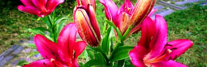 Что делать после цветения лилий