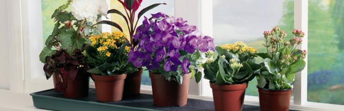 Какие комнатные растения нельзя держать дома, фото 63