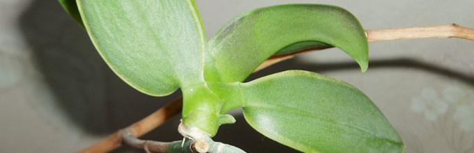 Орхидея фаленопсис - уход в домашних условиях, как 36