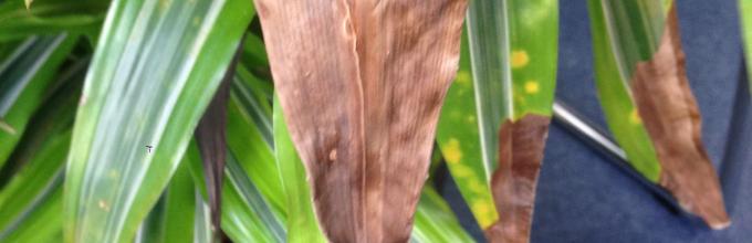 Почему листья у драцены желтеют листья