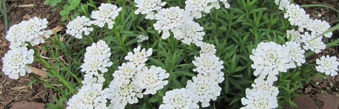Иберис зонтичный выращивание из семян фото светлячок 93