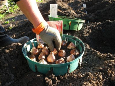На какую глубину сажать тюльпаны под зиму