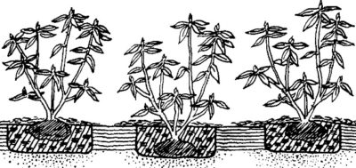 Рододендроны на урале уход и посадка