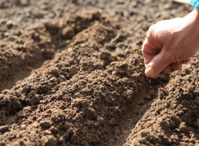 Однолетние флоксы выращивание из семян