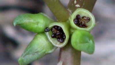 Портулак выращивание из семян когда сажать