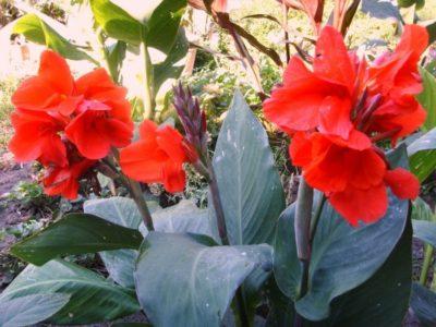 Цветы канны уход и хранение