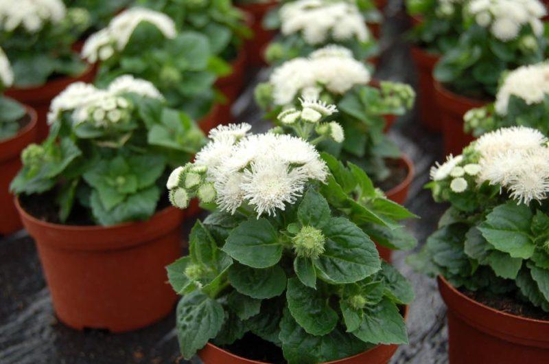 Как посадить агератум, размножение цветка.