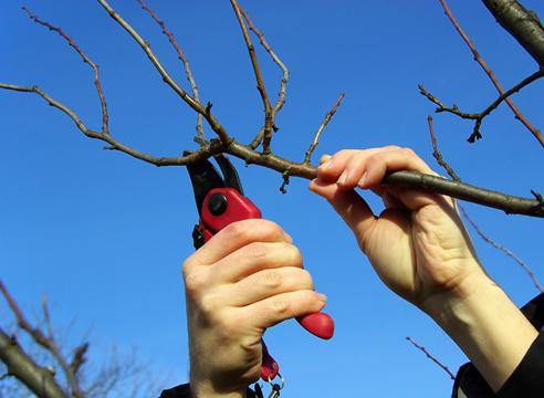 Заготовка черенков плодовых для весенних прививок