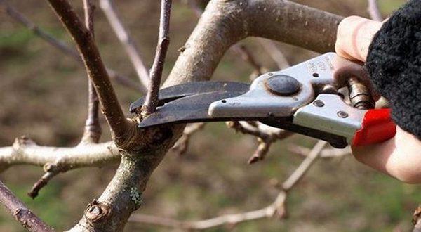 Осенняя обрезка плодовых деревьев